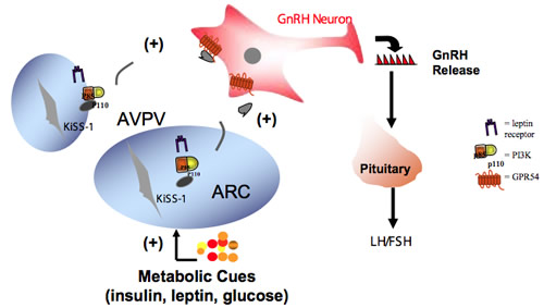 Kisspeptin Gnrh Neurons: Stony Brook University School