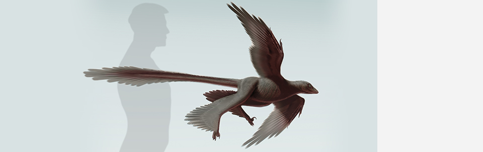 An international research team including Stony Brook scientist Alan Turner detail how Changyuraptor yangi helps explain the role of long tail feathers in flight evolution